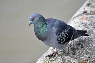 Rock Pigeon | by The Cuman