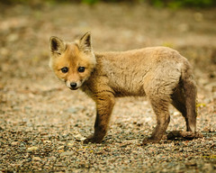 Red Fox (kit) Vulpes vulpes