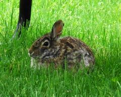 animal, hare, grass, rabbit, domestic rabbit, pet, fauna, wood rabbit, meadow, grassland, rabits and hares, wildlife,