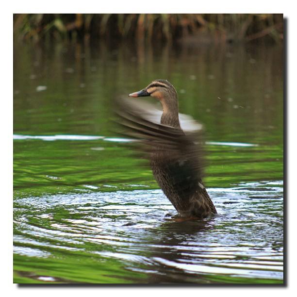 Duck, Redwood park