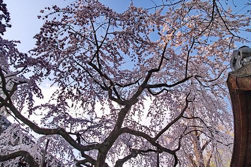【写真】2013 桜 : 平野神社/2021-01-09/IMGP8705