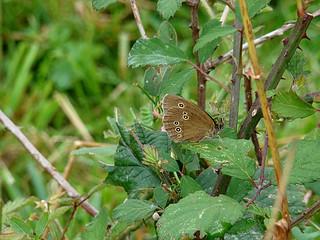 37 vlinder