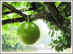 Large spherical fruit of Crescentia cujete (Calabash Tree, Mo Fa Kor), 24 June 2013