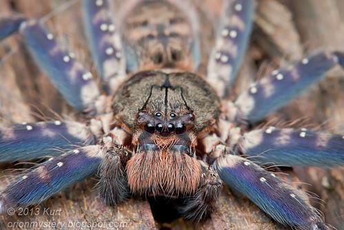 Hunstman spider - Heteropoda lunula IMG_1924 copy