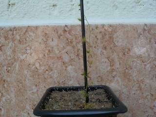 Minha pequena Drosera tuberosa 10459079503_21647f82f4_n
