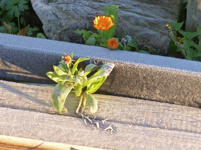A calendula braving the frost
