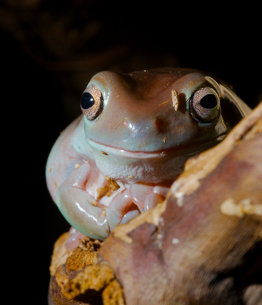 White's Tree Frog (Litoria caerulea)_3