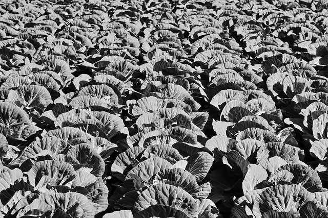20131215_01_Cabbage patch