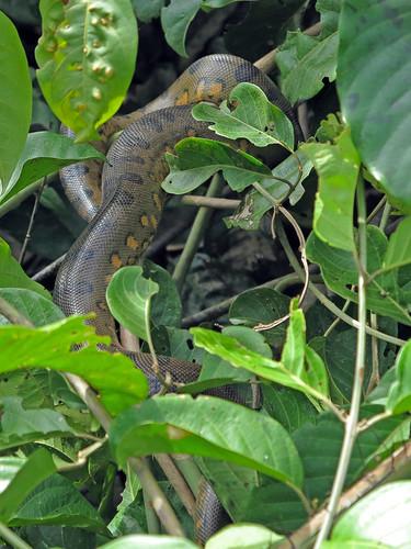 The Mighty Anaconda