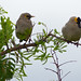 Wattled Starling - Photo (c) Bernard DUPONT, some rights reserved (CC BY-SA)