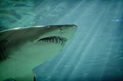 animal, fish, great white shark, shark, marine biology, underwater, carcharhiniformes, requiem shark, tiger shark,
