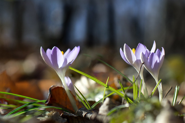 Erste Frühlingsboten - First signs of spring