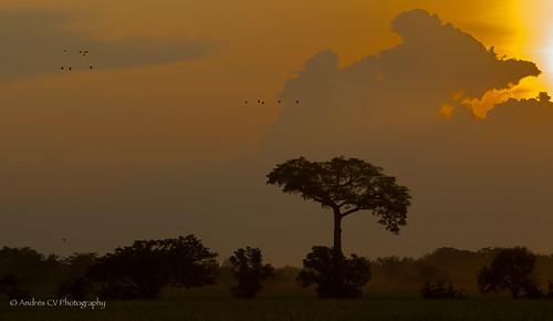 sunset nature birds sunrise landscape scenery colombia silhouettes paisaje scene ibis silueta tolima espinal arrocera