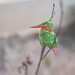 Red & green Bee-eater by caubetho
