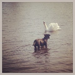 Dog vs Swan - FYI the...
