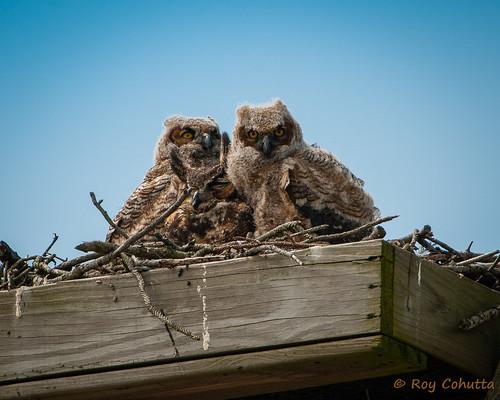 baby bird birding owl owls dauphinisland greathorned owlet owlets ospreyplatform