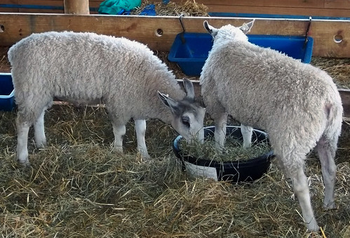 Bluefaced Leicesters