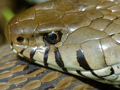 Grass Snake (Natrix natrix helvetica) head close-up