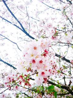 Mi3_Sakura_05