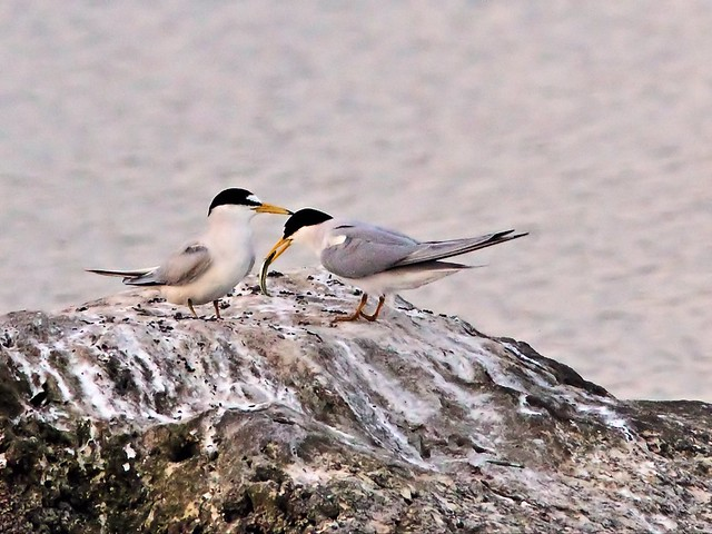 Least Tern female refuses fish from intruder male 29- 20140428