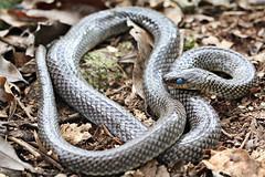 eastern diamondback rattlesnake(0.0), hognose snake(0.0), garter snake(0.0), rattlesnake(0.0), sidewinder(0.0), anguidae(0.0), animal(1.0), serpent(1.0), snake(1.0), reptile(1.0), grass snake(1.0), fauna(1.0), viper(1.0), scaled reptile(1.0), kingsnake(1.0), wildlife(1.0),