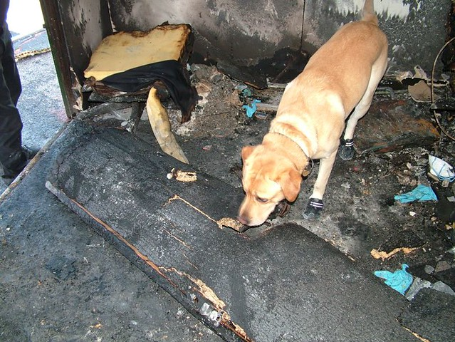 In action: Sam, wearing protective boots, searches the scene of a fire.