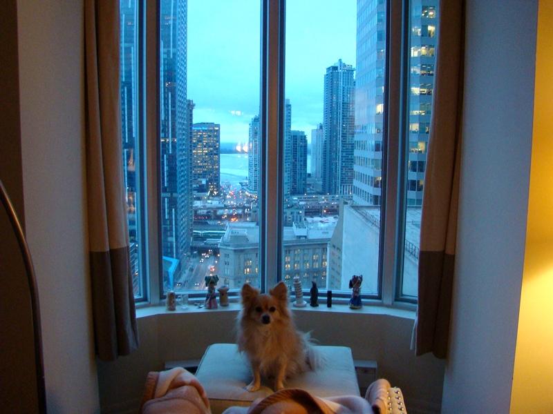 Toronto Pomeranian