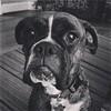 #kona #boxer #dog