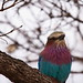 Lilac-Breasted Roller by sr667