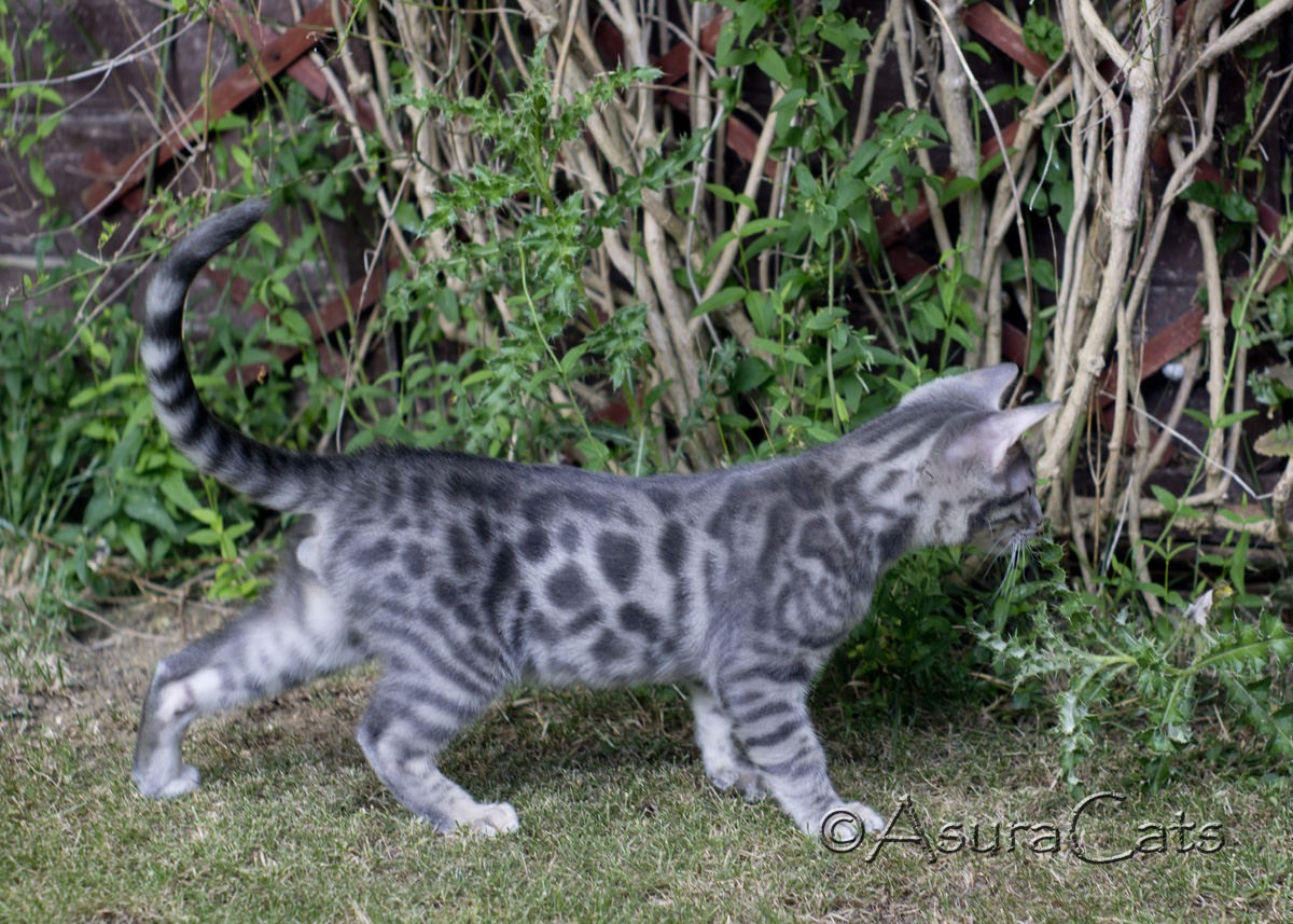 AsuraCats Blue Rosetted male