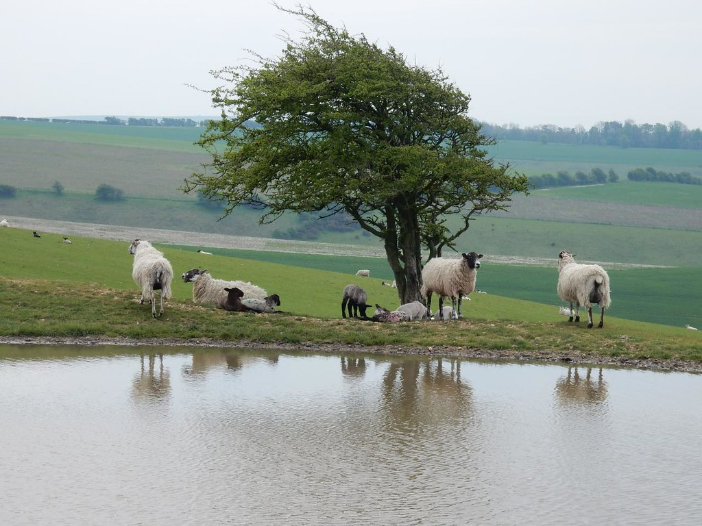 Sheep, dewpond, view Hassocks to Lewes