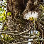 Image of Jardín botánico de Cienfuegos near Cienfuegos. white flower