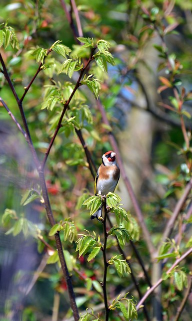Goldfinch with Windows Open  (96)