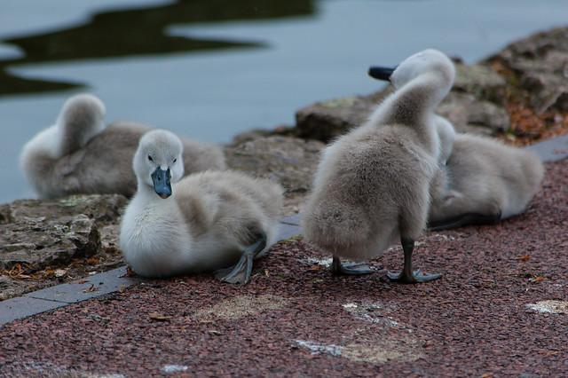 West Park, cygnets ashore