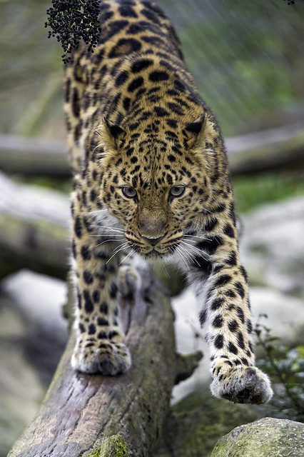 Young Amur leopardess balancing on the log...