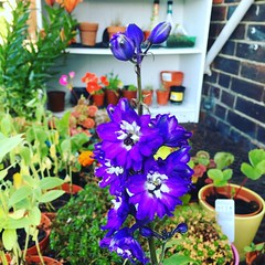 My little garden is now giving us beautiful little delphiniums :relaxed::relaxed: