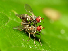Thick-headed Flies Mating