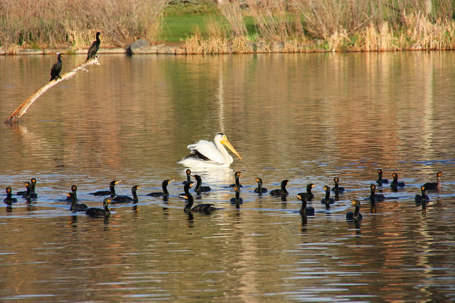 Pelican with Cormorant Fleet