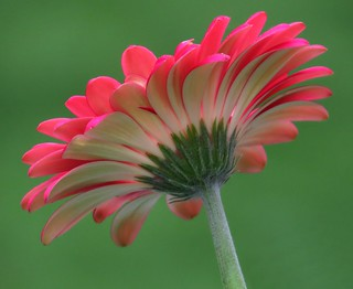 Under a Gerbera Daisy