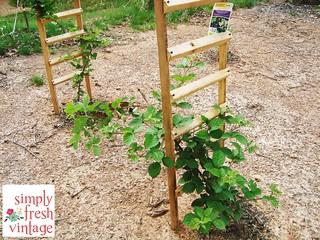 Blackberries - May Garden ... Simply Fresh Vintage