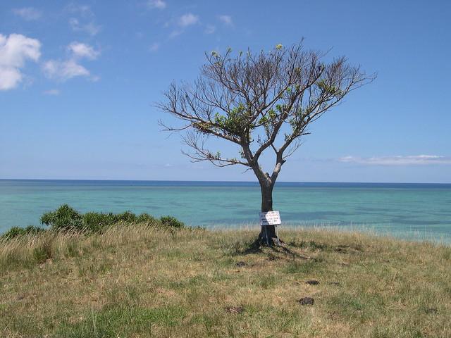ちゅらさんの木2