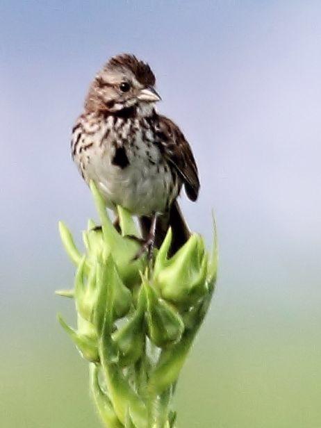 Song Sparrow 4-20130707
