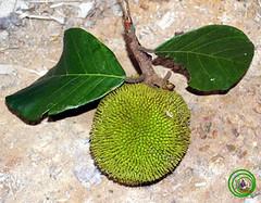 leaf, tree, flora, green, fruit, food, jackfruit,