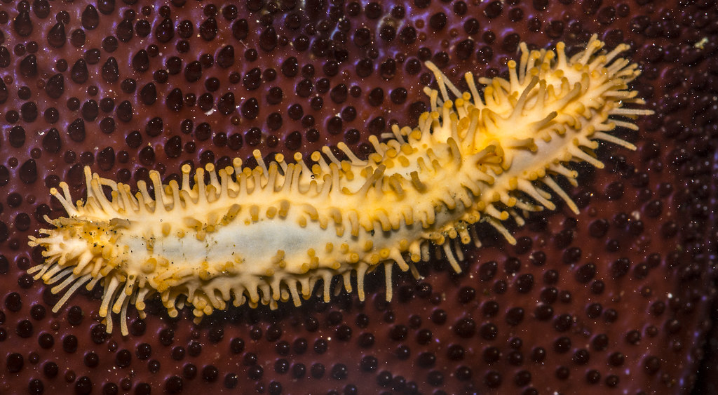 Eupentacta quinquesemita,  Explored.  Stiff-footed Sea Cucumber