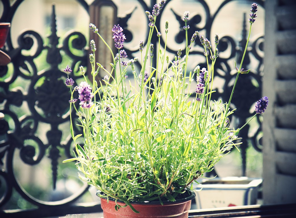 A little bit of Lavender on my window sill