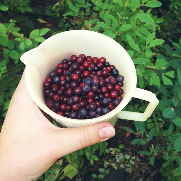 Wild huckleberry picking. #mccall #idaho