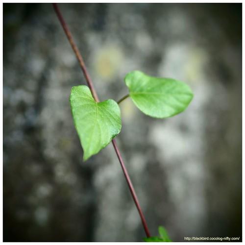 Ivy #02