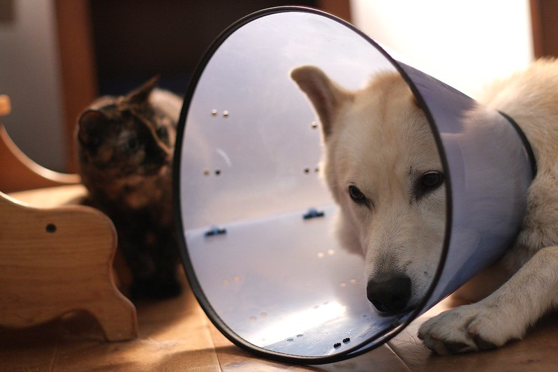 The cone of shame (Geisha no longer afraid of the big bad wolf!)