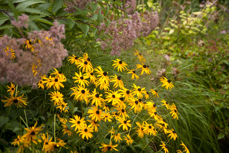 Rainy Day rudbeckia