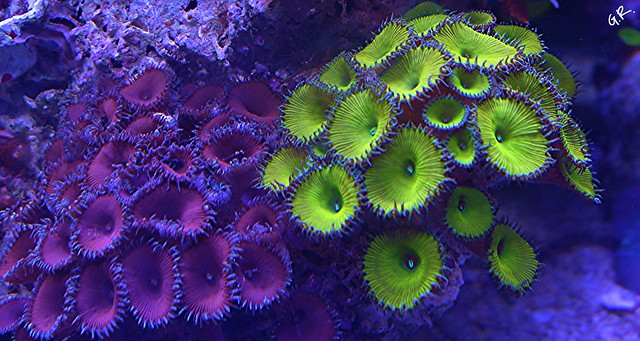 Tank breakdown sale.  Corals.  (closed) 10005135886_cabfe4ff24_z
